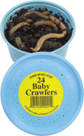 24 Baby Night Crawlers packed in a foam container in dirt.