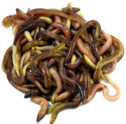 jumbo panfish worms at knutson's live bait - trout worms, red, Fly Fishing Bait