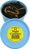 Knutson's Live Bait - Night Crawlers, Jumbo Panfish Worms